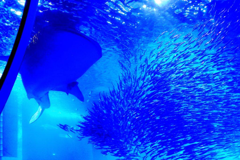 ジンベエザメとイワシの大群
