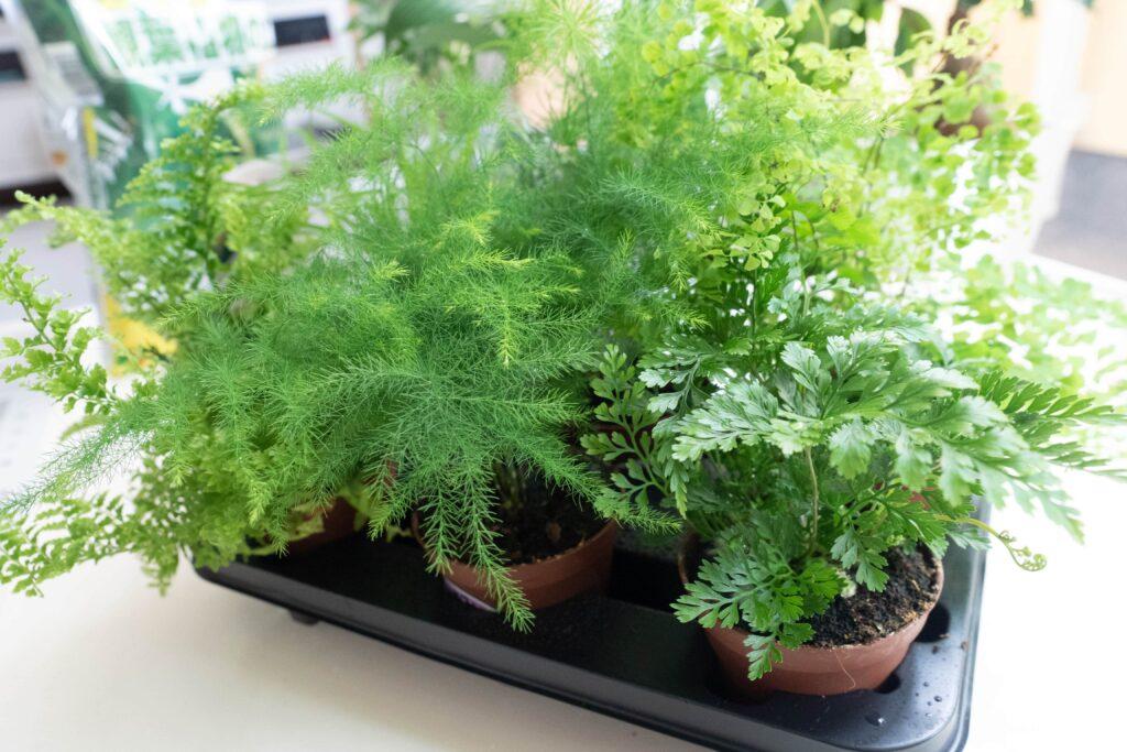 カインズホームで購入したミニ観葉植物たち